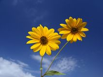 Yellow flowers of Jerusalem artichoke. Two flowers of Jerusalem artichoke under a blue sky with white clouds stock images