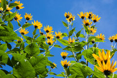 The yellow flowers of Jerusalem Artichoke plants. A species of sunflower, against a deep blue sky stock photography