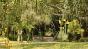 Yellow flowers of Jerusalem thorn tree with bench at public park background stock footage