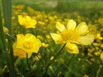 yellow flowers on the June field Royalty Free Stock Image