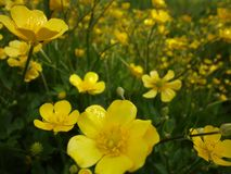 Yellow flowers on the June field Royalty Free Stock Photography