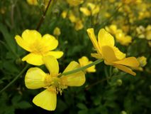 Yellow flowers on a June field Royalty Free Stock Image