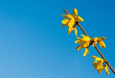 Yellow flowers of Laburnum tree in spring time against blue sky Royalty Free Stock Photography