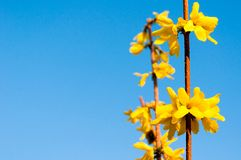 Yellow flowers of Laburnum tree in spring time against blue sky Royalty Free Stock Photo