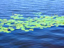 Yellow flowers on lake. Royalty Free Stock Images