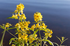 Yellow flowers. On the lake Angervoinen, this property is less than 20 minutes' drive from Kerimaki town centre Royalty Free Stock Photo