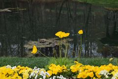 Yellow flowers by a Lake Royalty Free Stock Image