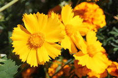 Yellow flowers of lance-leaved coreopsis or Coreopsis lanceolata. In garden Royalty Free Stock Images