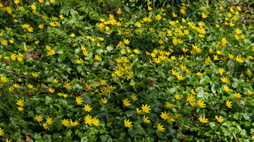 Yellow flowers of Lesser celandine Royalty Free Stock Images