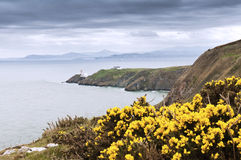 Yellow flowers and the lighthouse - Ireland Royalty Free Stock Photo