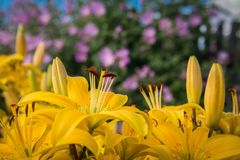 Yellow flowers lilies on a background of purple bindweed. Royalty Free Stock Photos