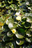 Yellow Flowers in Lilly Pads Stock Photos