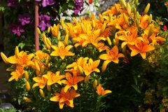 Yellow Flowers Of Lily Advantage In Flower Bud. Lily Advantage. Beautiful Yellow Orange Flowers Of Lily Advantage Grow In Flower Bud In Bright Summer Day Royalty Free Stock Photos