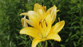 Yellow flowers lily blooming on green background a stock footage
