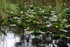 Lily pads in Everglades National Park, Florida, USA stock photography