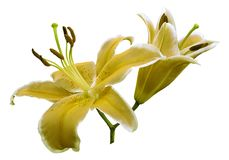 Yellow flowers  lily on white isolated background with clipping path  no shadows. Closeup. Royalty Free Stock Photo