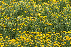 Yellow and flowers. Lists (still in progress) can also be sorted by botanical name. Be aware sometimes the plant comes in more colors and only example is in the Stock Image