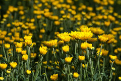 Yellow and flowers. Lists (still in progress) can also be sorted by botanical name. Be aware sometimes the plant comes in more colors and only example is in the Stock Images