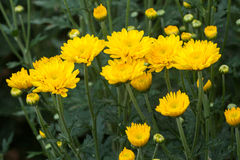 Yellow flowers. Lists (still in progress) can also be sorted by botanical name. Be aware sometimes the plant comes in more colors and only example is in the list Royalty Free Stock Photography