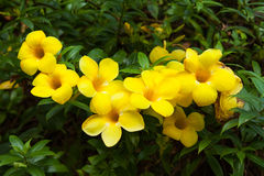 Yellow flowers. Lists (still in progress) can also be sorted by botanical name. Be aware sometimes the plant comes in more colors and only example is in the list Royalty Free Stock Image