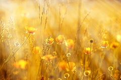Yellow flowers lit by sun rays. Yellow flowers in meadow lit by sun rays Royalty Free Stock Photos