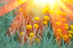 Yellow flowers lit by sunrays Stock Photos