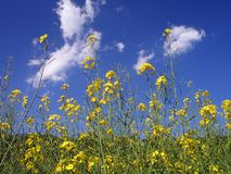 Yellow Flowers from Lower View. Rural Meadow Covered with Yellow Flowers (Sinapis arvensis stock photo