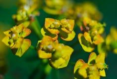 Yellow flowers macro Stock Image