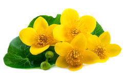 Yellow flowers of marsh marigold isolated on white Stock Photos