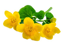 Yellow flowers of marsh marigold isolated on white Royalty Free Stock Photo