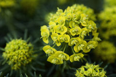 Yellow flowers. On a meadow Royalty Free Stock Photography
