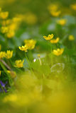 Yellow flowers on the meadow Royalty Free Stock Image