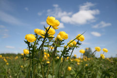 Yellow flowers on meadow Stock Photography