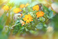 Yellow flowers in meadow Royalty Free Stock Photo