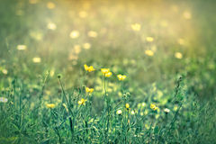 Yellow flowers in meadoW Stock Photography