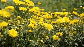 Yellow flowers stock video