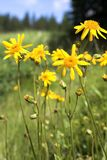 Yellow flowers at meadow in mountains Royalty Free Stock Photography