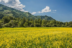 Yellow flowers meadow mountains Royalty Free Stock Images