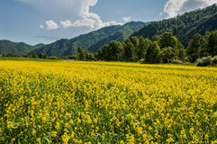 Yellow flowers meadow mountains Stock Images