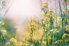 Yellow flowers in a meadow Royalty Free Stock Photos