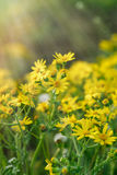 Yellow flowers in meadow - springtime Royalty Free Stock Photography