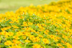 Yellow flowers in the middle of yellow.  Royalty Free Stock Images