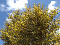 Yellow flowers mimosa. Yellow flowers on a spring tree, mimosa, Turkey Royalty Free Stock Image