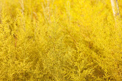 Yellow flowers and morning dew Soft-focus close-up Royalty Free Stock Photo
