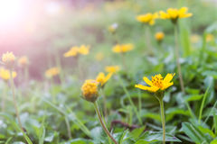 Yellow flowers with morning sunlight Stock Photos