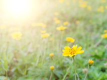 Yellow flowers with morning sunlight Royalty Free Stock Image
