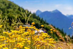 Yellow flowers in mountain landscape Stock Image