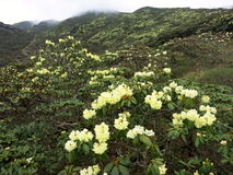 Yellow Flowers in the Mountains. Yellow flowers in the lush Cangshan Mountains Stock Images