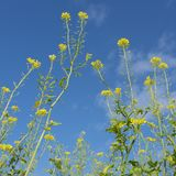 Yellow flowers of mustard seed in field Stock Photos