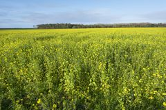Yellow flowers of mustard seed in field Stock Photo